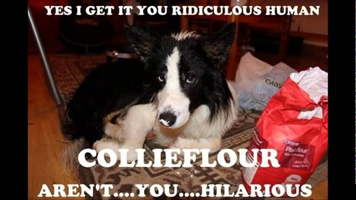 Border Collie Meme Border Collie Humor Collie Funny Dog Pictures