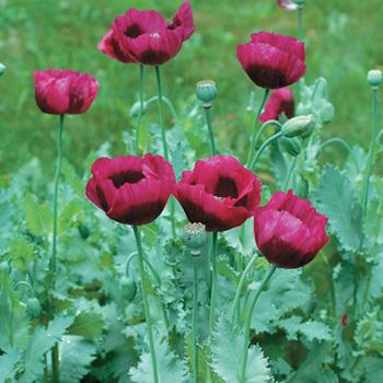 Poppy 'Lauren's Grape' (With images) Purple poppies