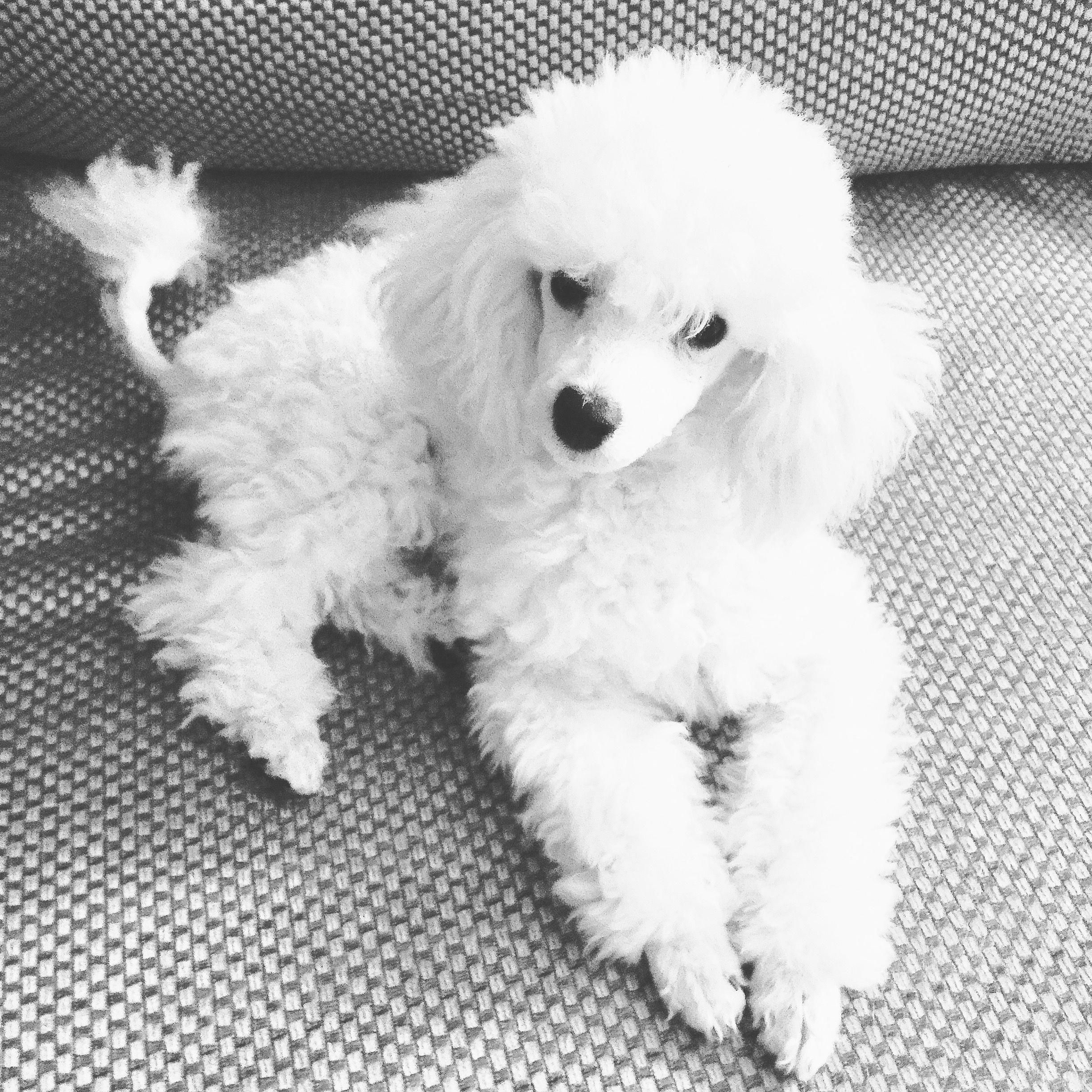 Poodles Smart Active And Proud Poodle Puppy White Toy Poodle
