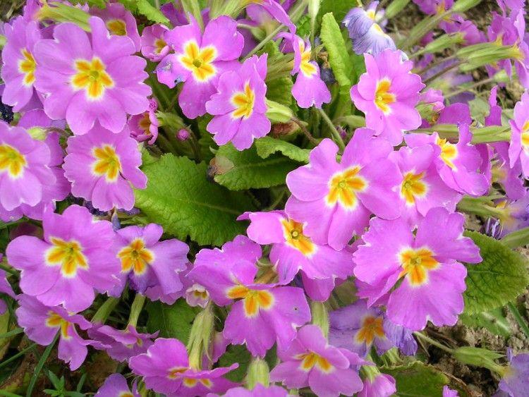 Fonds D Ecran Nature Fonds D Ecran Fleurs Primevere Sauvage Par Acidburn2 Hebus Com Primevere Sauvage Fleurs Primeveres
