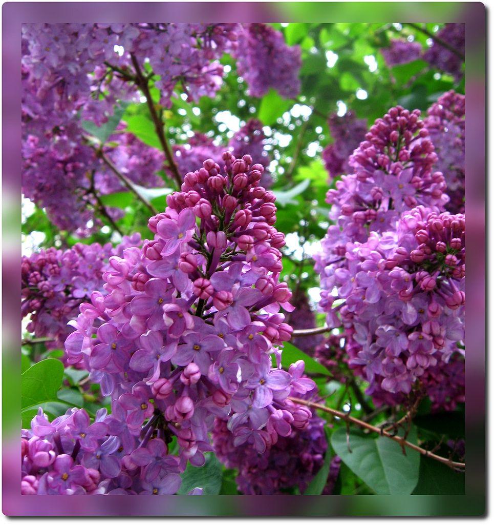 Lilac City Lilac Purple Lilac Syringa Vulgaris