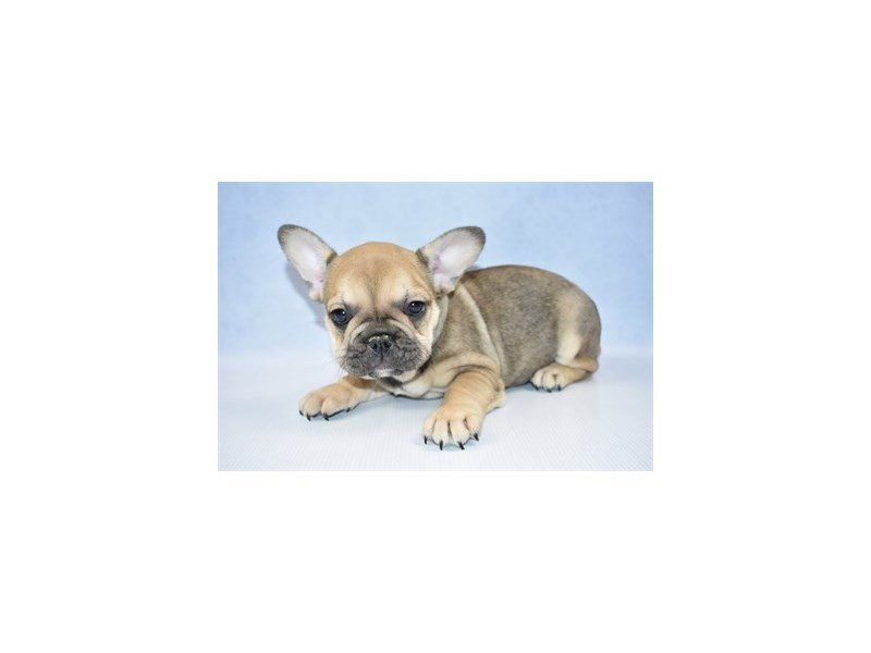 French Bulldog Dog Female Fawn 2360637 Petland Las Vegas Nv