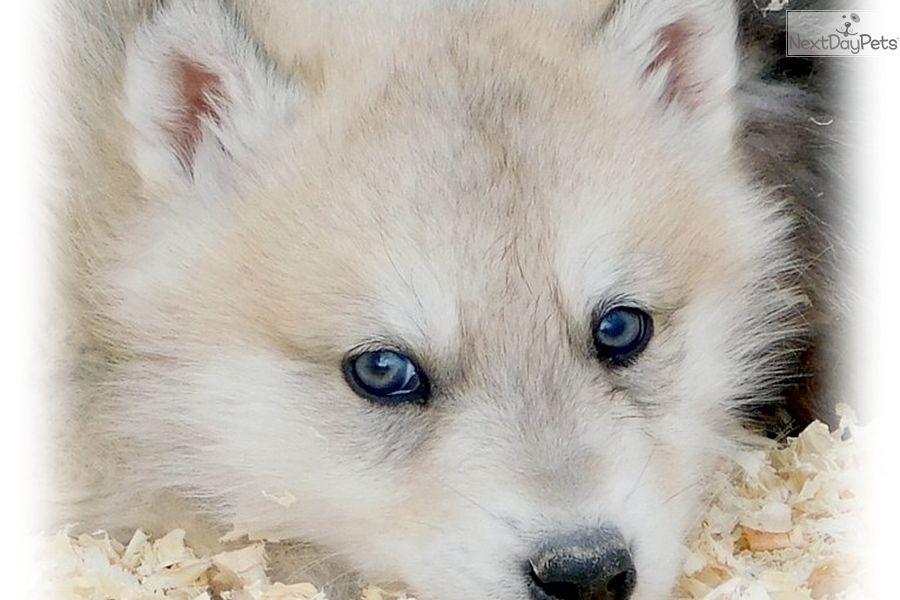 Wolf Hybrid Puppy For Sale Near Las Vegas Nevada Ab987ef9 C931 With Images Wolf Hybrid Puppies Wolf Hybrid Wolf Dog