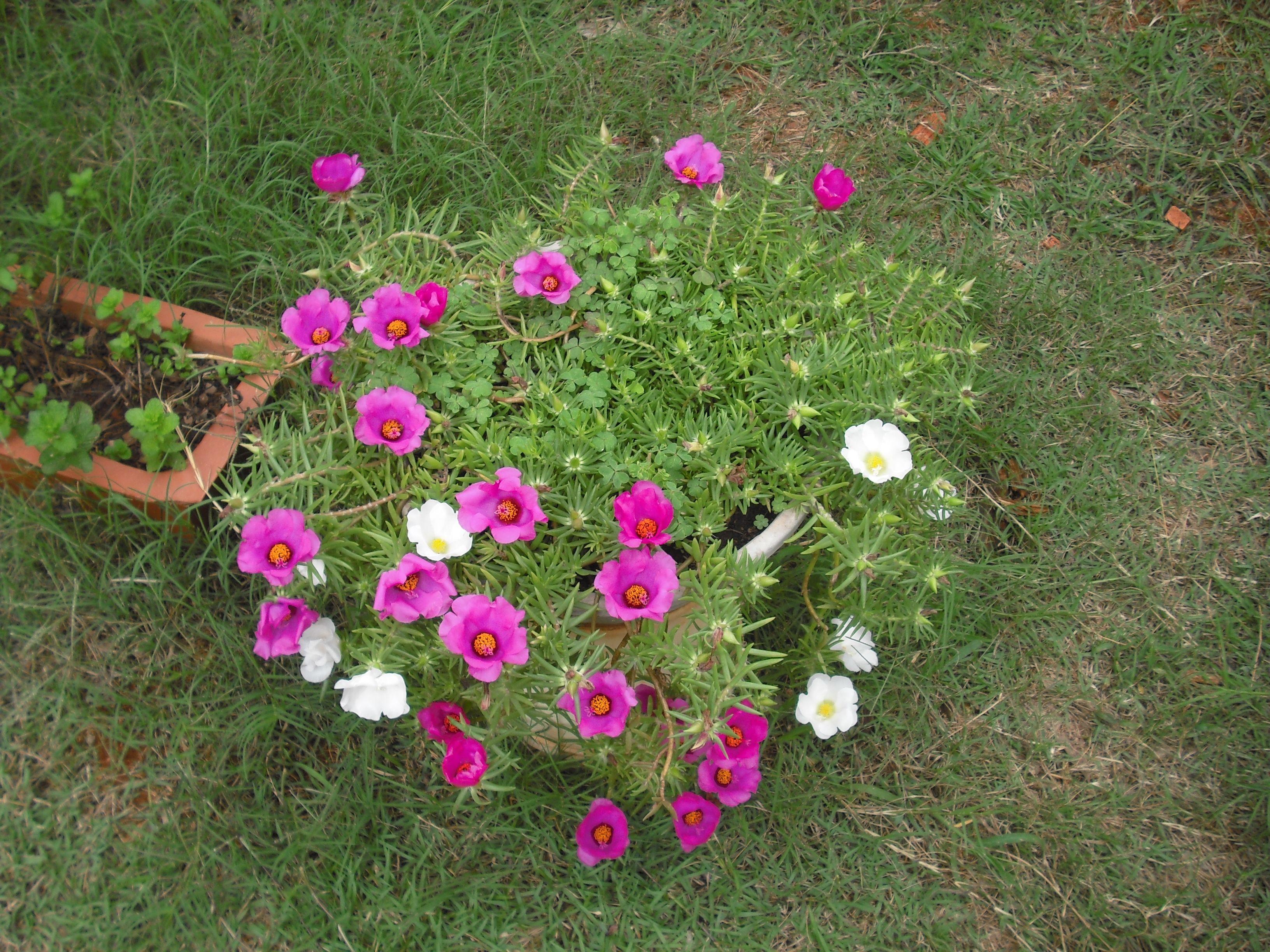 Onze horas no meu quintal. Maravilhosa plantinha que floresce na primavera-verão.