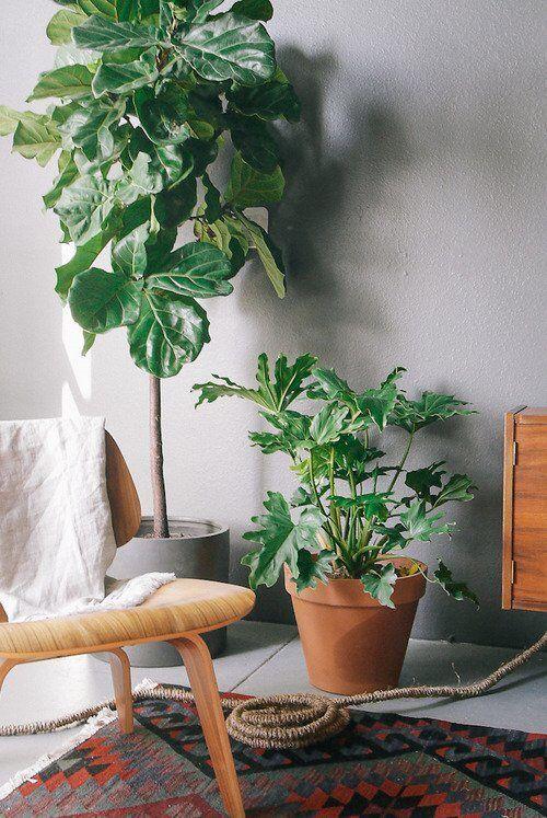 Ficus Lyrata A Planta Mais Fashion Do Décor Os Achados Por Bia Perotti