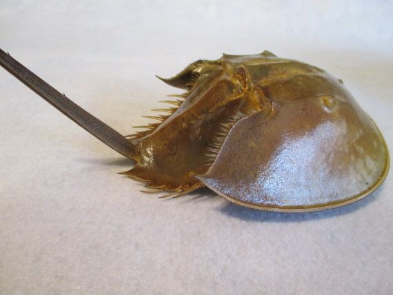 Horseshoe Crab Shell From N Fl Clean Natural Dried By Hobbithouse Etsyrmp Horseshoe Crab Crab Shells Crab