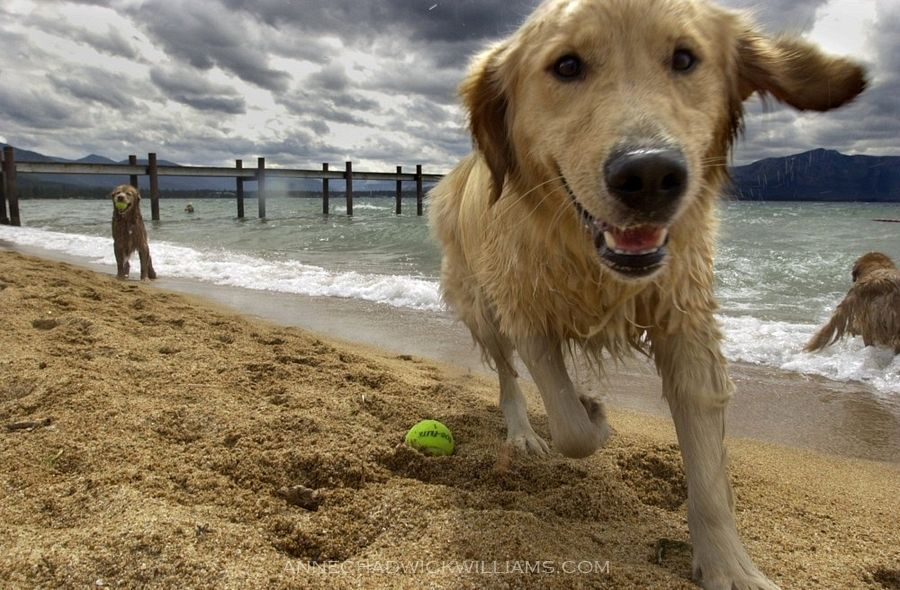 Golden retriever at Lake Tahoe retrieving a pine cone from