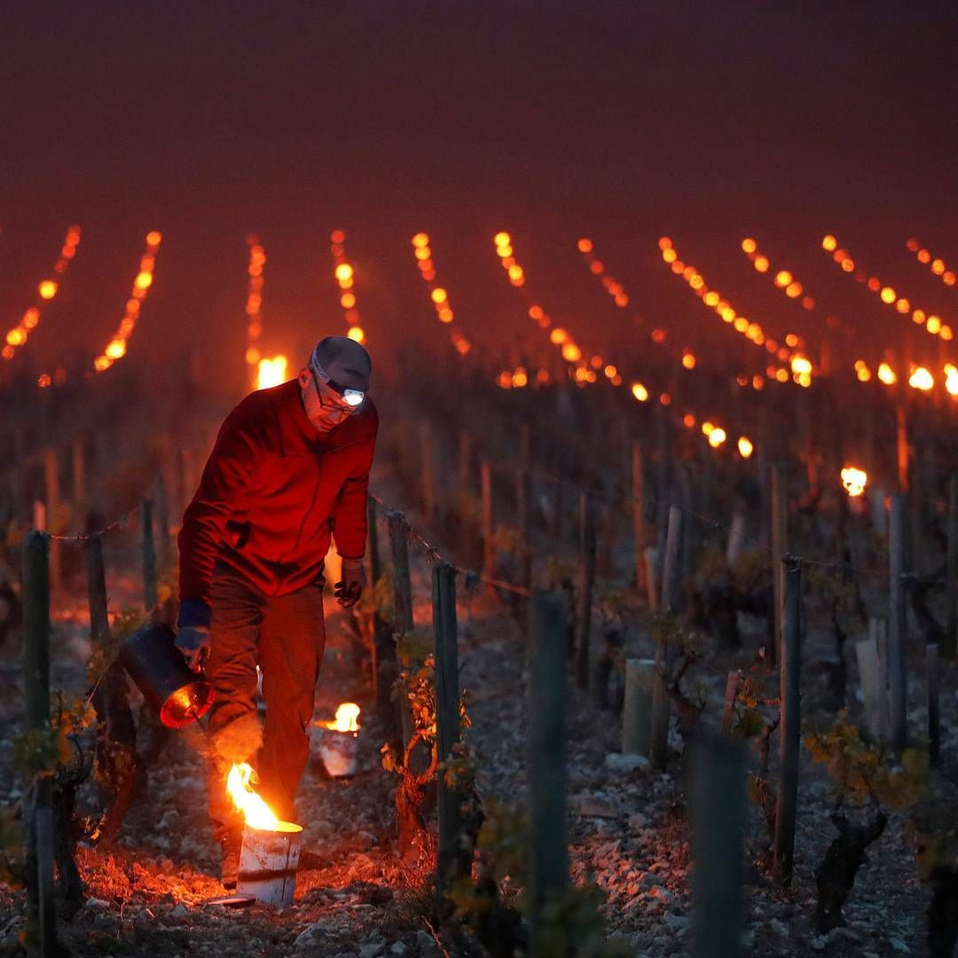 In The Early Hours Of The Morning A Vineyard Worker Lights Anti Frost Candles To Protect Tender Shoots From Frost Damage Chab Warm Wine Vineyard Wine Country