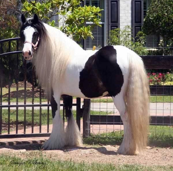 #horses Gypsy Vanner mare