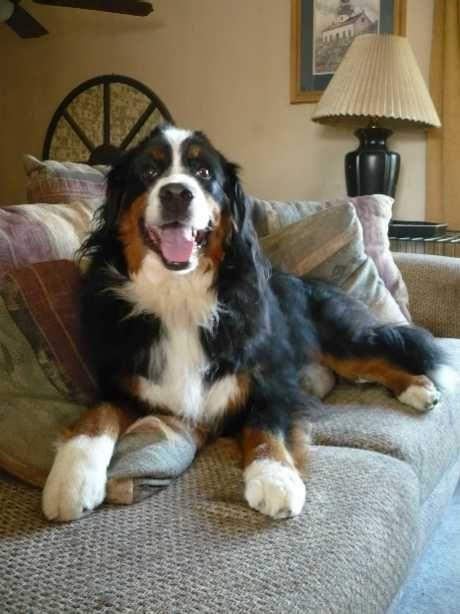 Bernese Mountain Dog Club Of Northeastern Illinois Berners