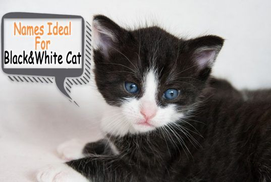 Black And White Cat Names That Is Ideal For Your Black And White Kittens Black And White Kittens Cute Cats And Kittens Kitten Names