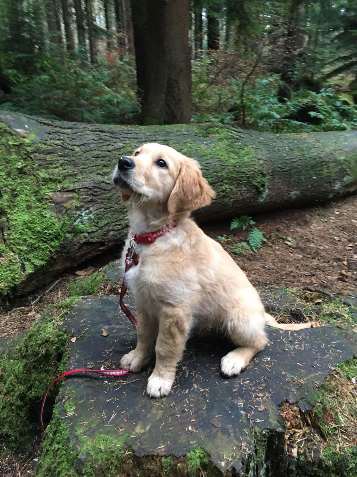 Beau image de chien labrador a imprimer - Golden retriever gratuit ...