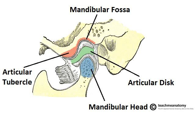 Temporomandibular Joint  Articulates at Mandibular Fossa & CONDYLAR PROCESS OF the MANDIBLE  Diarthrotic Joint: Freely moving    Structural Type: Synovial/ Condyloid Joint - Movement: Protraction/ Retraction, Elevation/ Depression