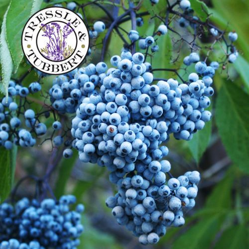 how to grow a tree from a blue berries