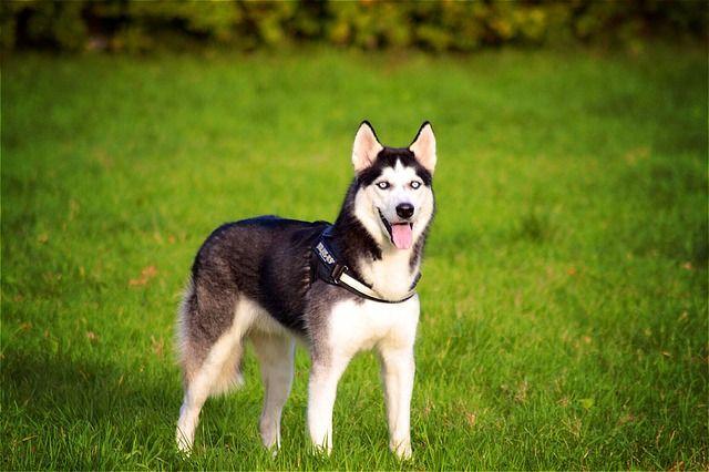 Den Siberian Husky er smuk, men nybegyndere typisk på udkig efter en smuk hund at sidde hele dagen befinder sig vej i over deres hoveder med en Sibe. Disse hunde blev avlet til udholdenhed løb og uden en masse motion og ordentlig uddannelse, de er meget vanskelige hunde til at leve med.