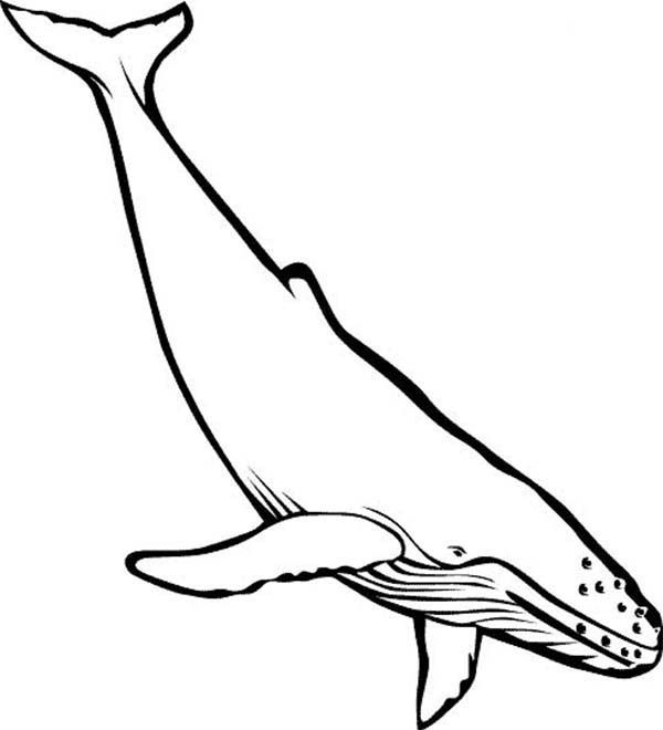 Picture Of Blue Whale Colouring Page Jpg 600 660 Whale