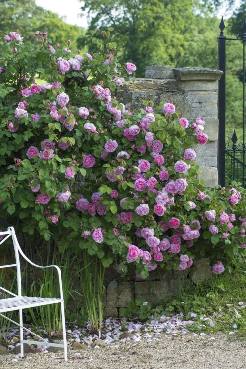 Mad About-Garden-Design- A romantic climbing rose within a cottage garden