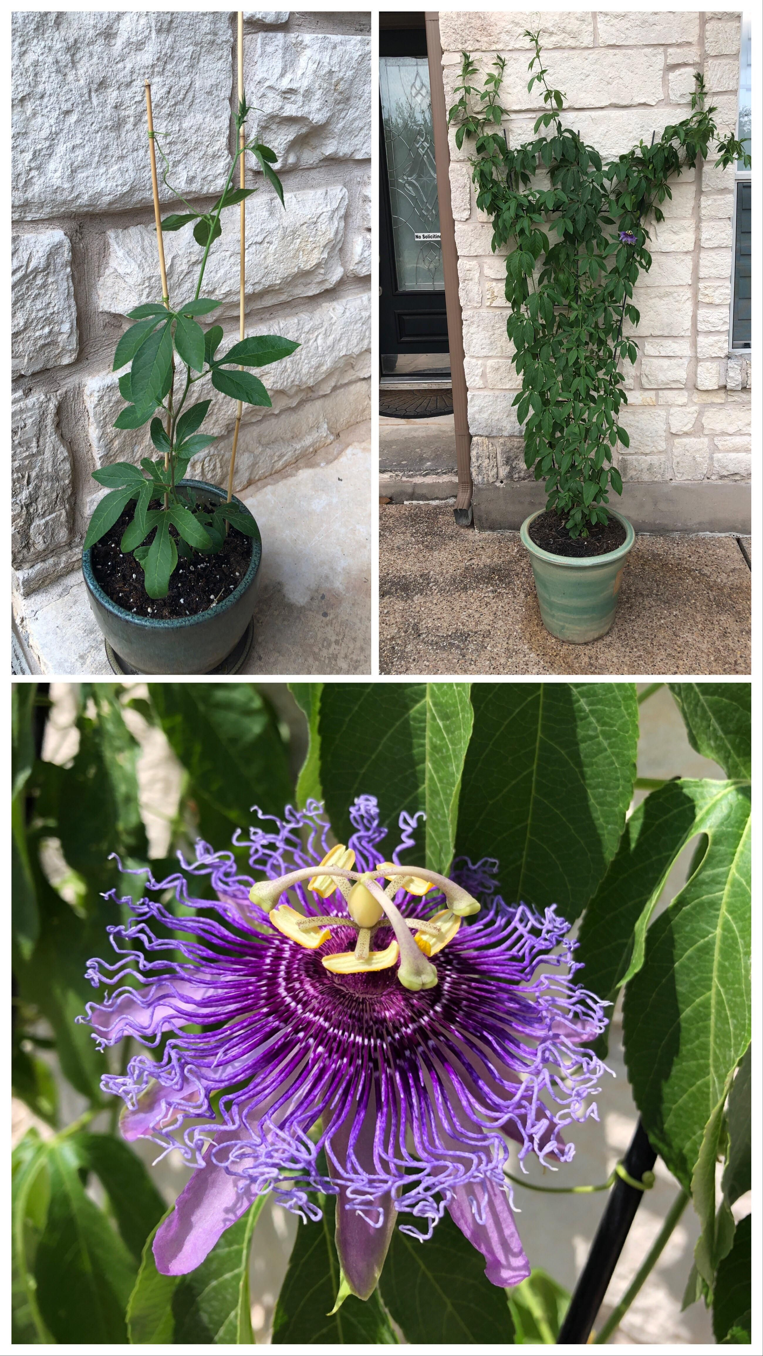 The Passiflora Vine Has Grown A Lot In The Last 49 Days And Today Bloomed Its First Flower Each Flower Only Lasts For One Day Before Passiflora Bloom Flowers
