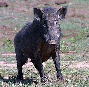 California Free Hunting Map For Wild Boar Hunting Information