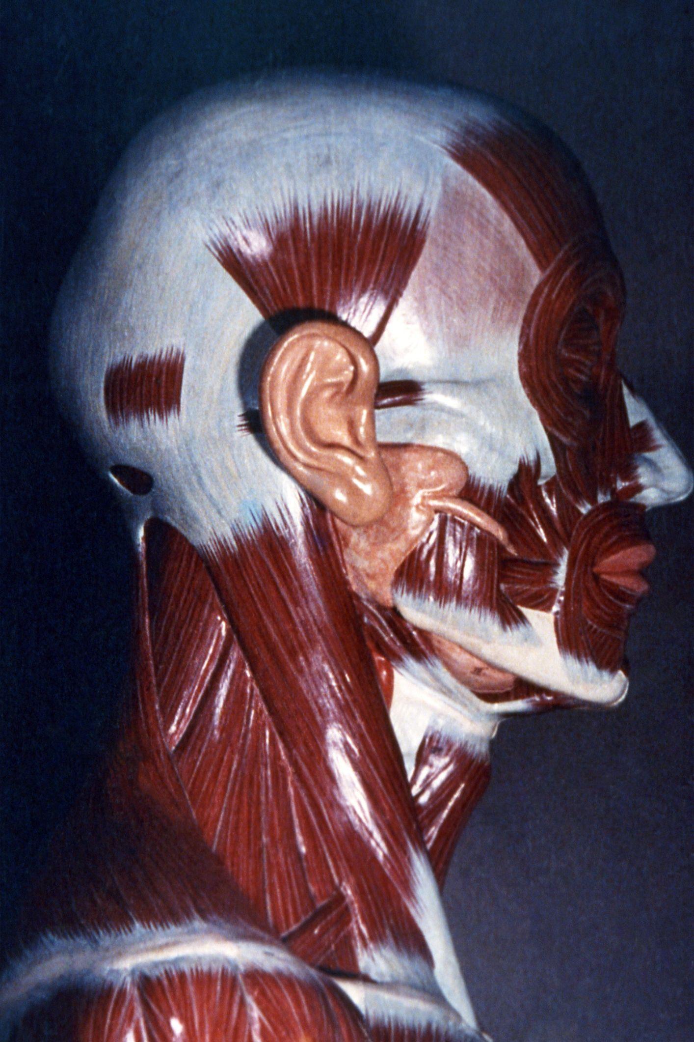 Músculos de la cabeza y el cuello   anatomia   Pinterest   Músculos ...