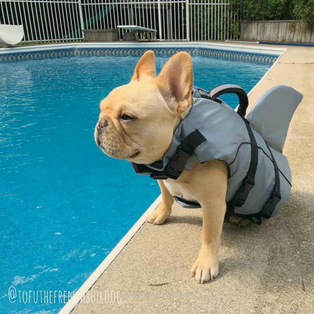 'Land Shark', Tofu, the swimming French Bulldog Puppies