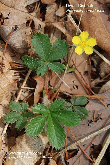 CINQUEFOIL (leaf/oil)Fire/Jupiter/Mercury - Broad number of uses. Protective. Attracts success #greenwitchcraft CINQUEFOIL (leaf/oil)Fire/Jupiter/Mercury - Broad number of uses. Protective. Attracts success #greenwitchcraft CINQUEFOIL (leaf/oil)Fire/Jupiter/Mercury - Broad number of uses. Protective. Attracts success #greenwitchcraft CINQUEFOIL (leaf/oil)Fire/Jupiter/Mercury - Broad number of uses. Protective. Attracts success #greenwitchcraft CINQUEFOIL (leaf/oil)Fire/Jupiter/Mercury - Broad nu #greenwitchcraft