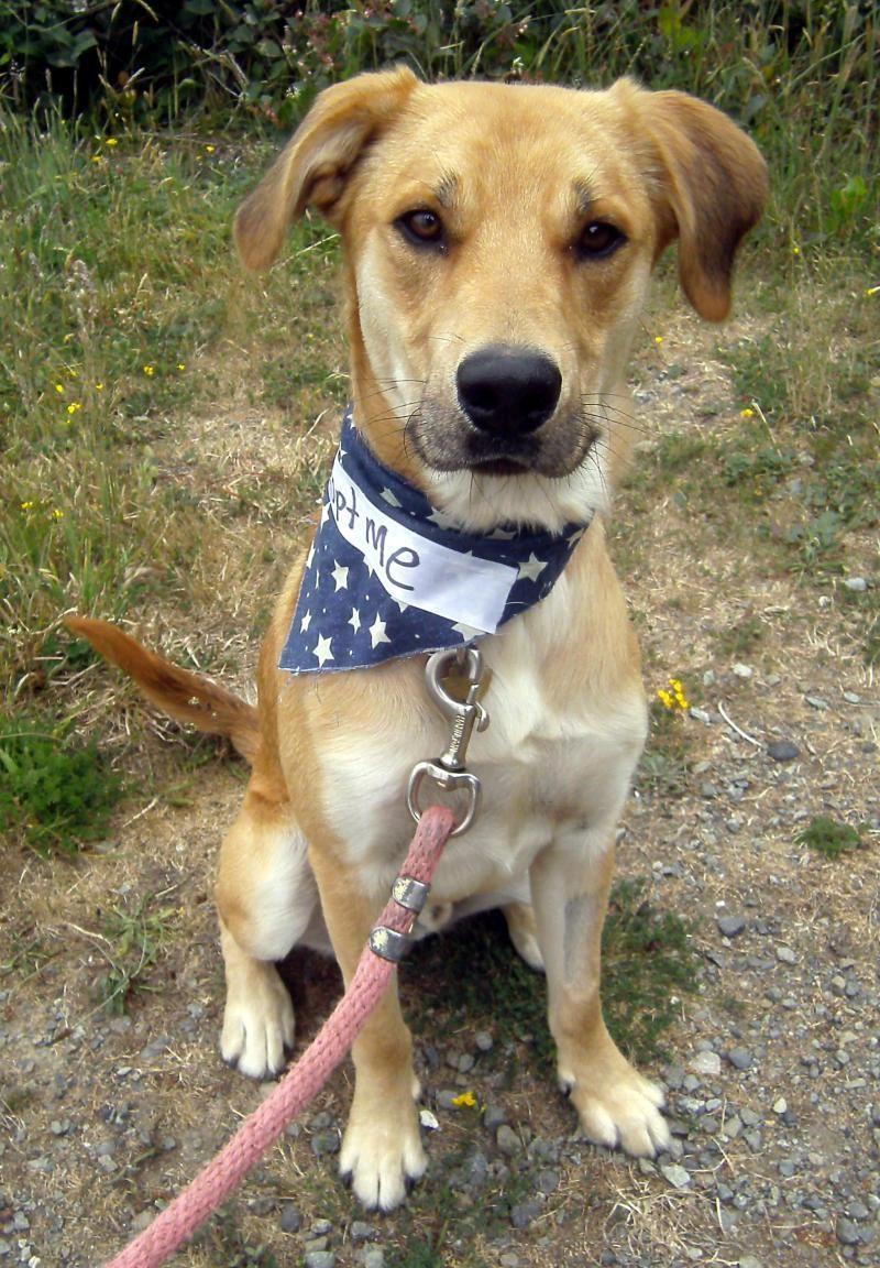 Adopt doyle on petfinder yellow labrador retriever dogs