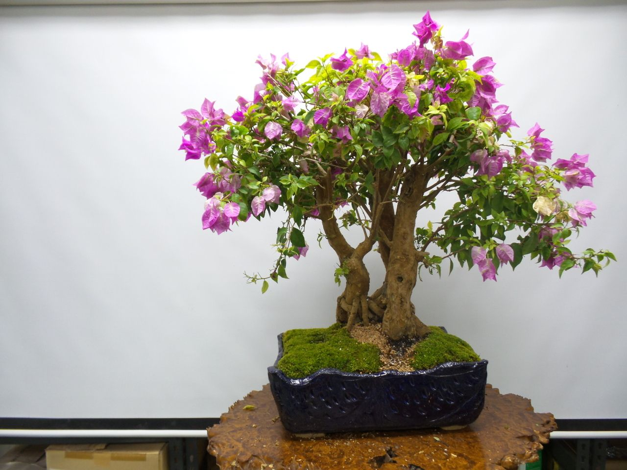 Bougainvillea Bonsai Tree 55621 Miami Tropical Bonsai
