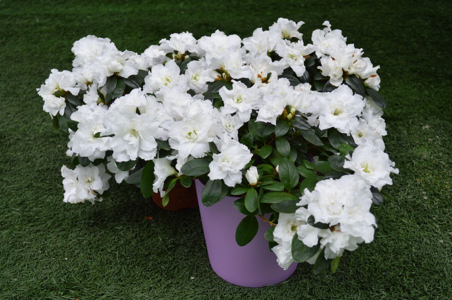 Azalea blanca planta de interior con - Cuidado de azaleas en interior ...