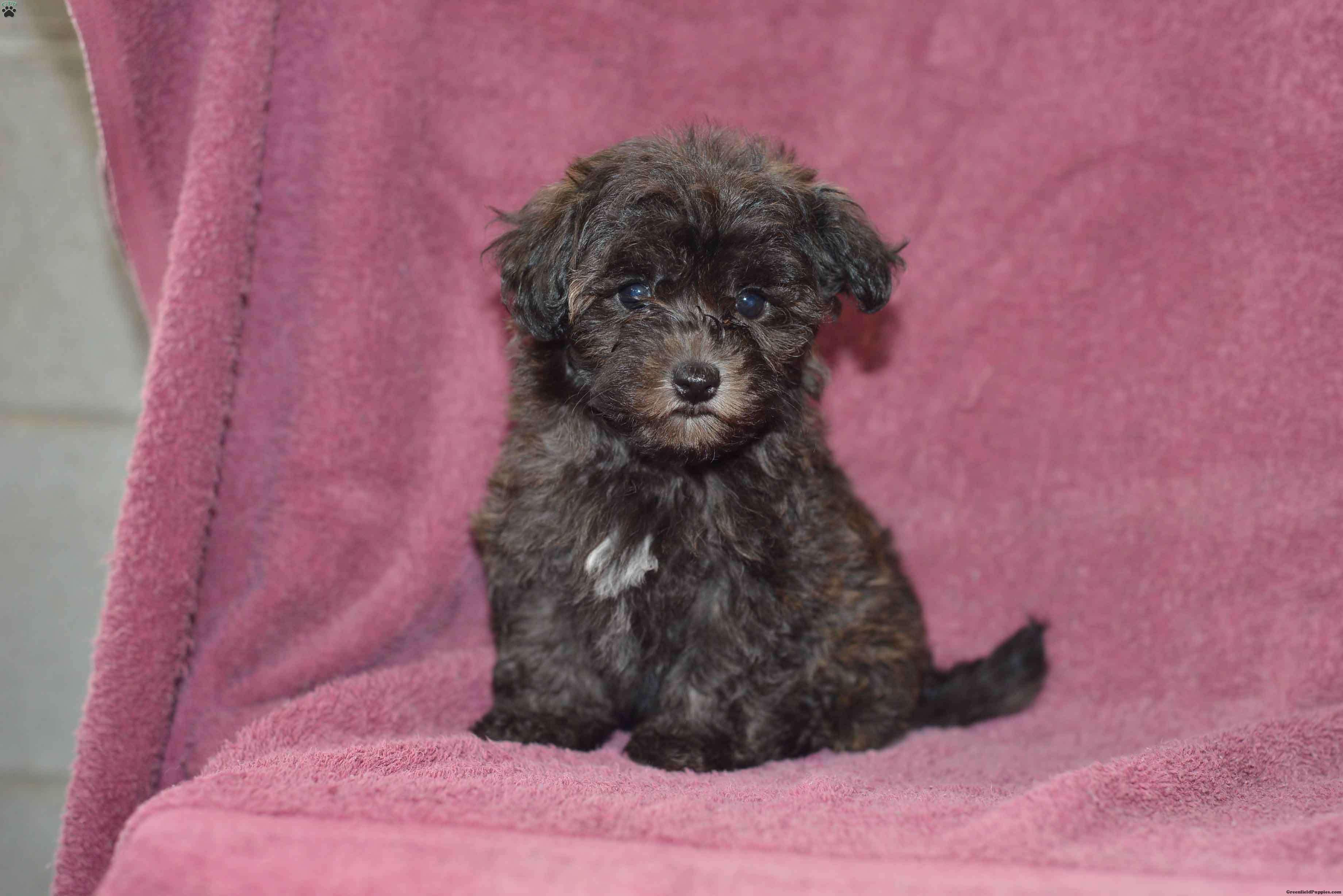 Debbie Havapoo Puppy For Sale In Ohio Havapoo Puppies Puppies Puppies For Sale