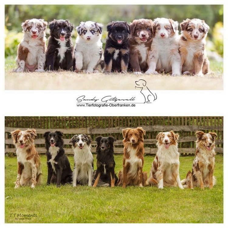 Australian Shepherd Puppies Image By Danielle Brazell On Animal Love Shepherd Puppies Aussie Puppies