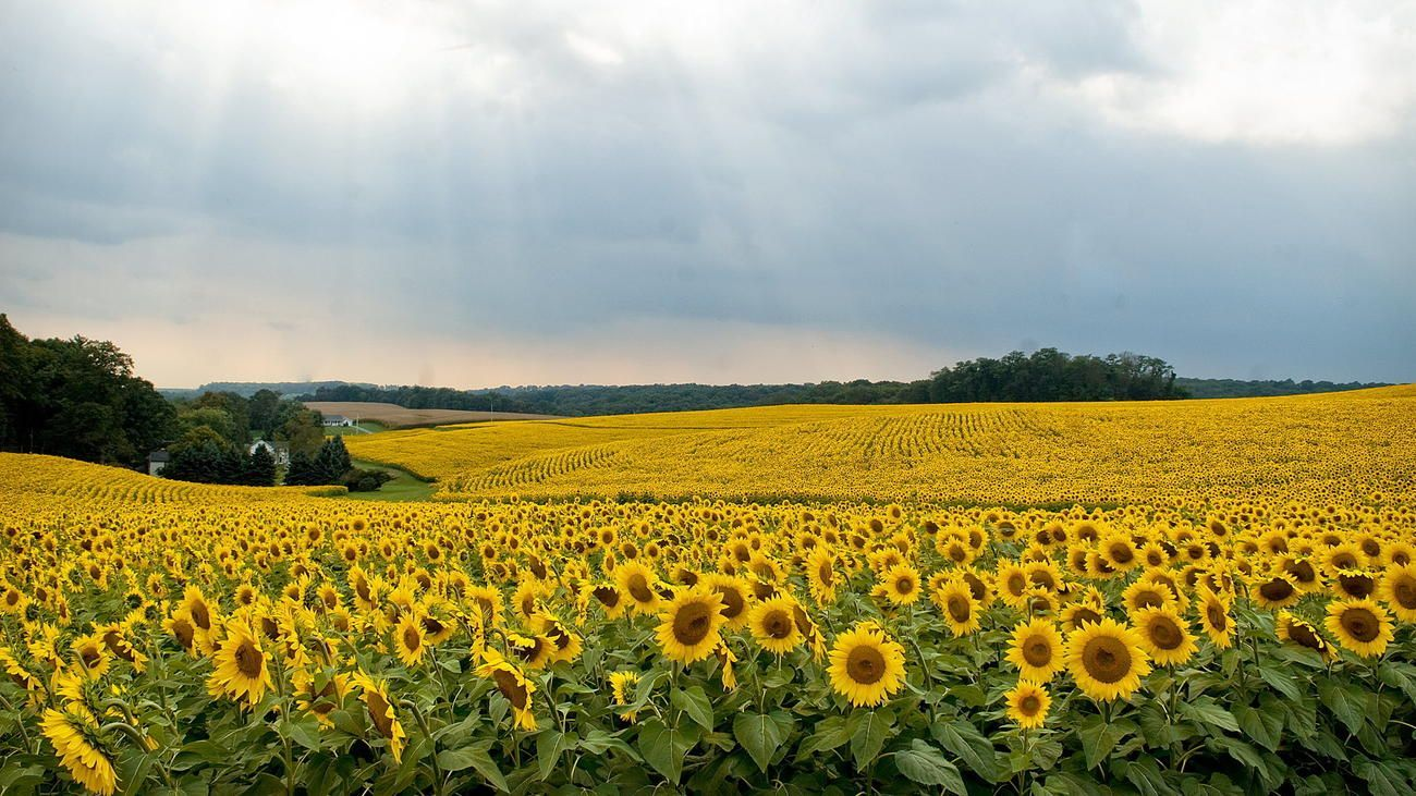 50 Most Beautiful Places In Maryland Acre Sunflowers And Hall