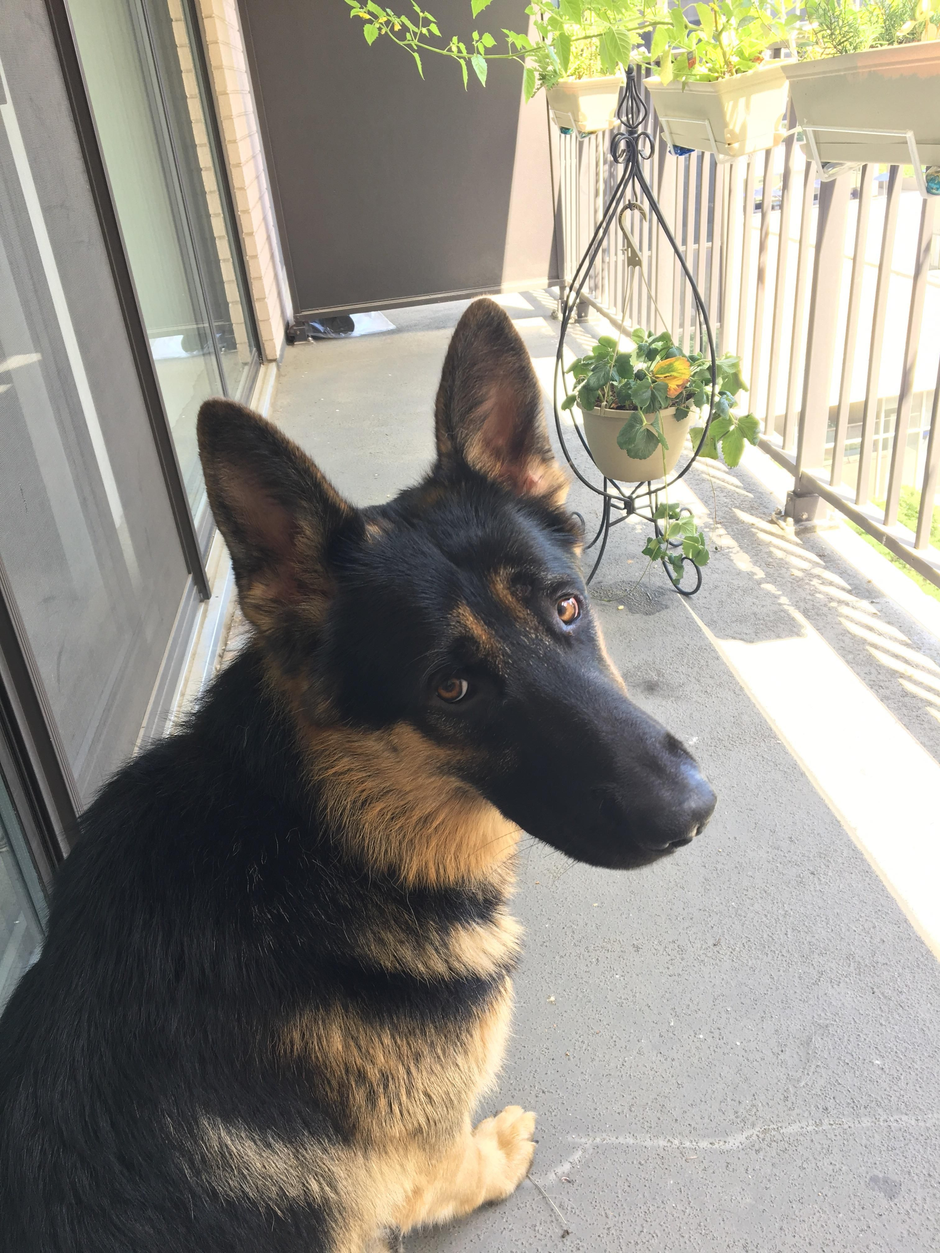 Pin by Tim on German Shepherd Dog Guide dog, Dogs, Cat talk