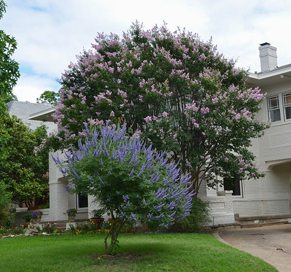 Bashans Party Pink Texas A M Superstar Crape Myrtle With Vitex