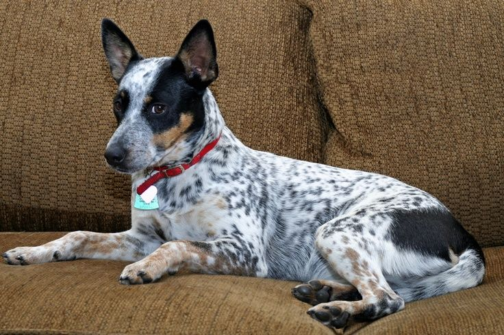 Crackerjack Unimpressed Blue Heeler Dogs Rat Terrier Dogs Bichon Dog