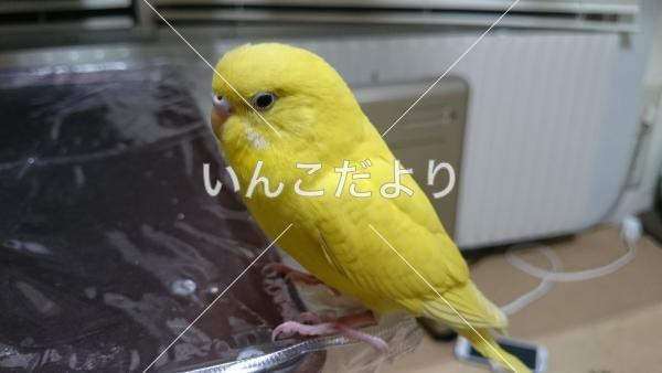 神奈川県で黄色いのインコを保護しました 保護鳥 Hogo 18102 いんこだより いんこ インコ 保護
