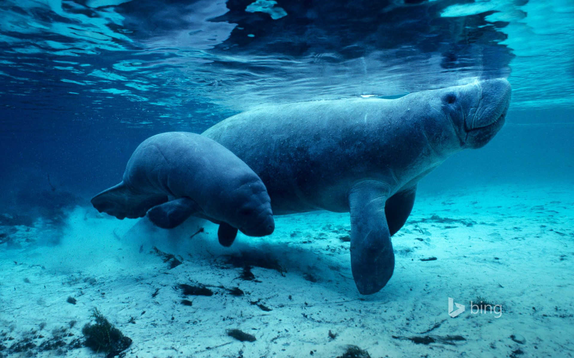 Here in Florida's Crystal River, West Indian manatees rule