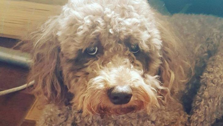 50 cutest labradoodle pictures page 5 the paws