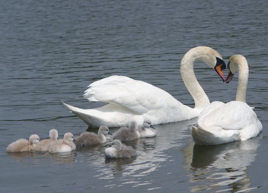 Muted-mated swans, Louis and Serena, enjoy the pond on the grounds of the Schaumburg Municipal Center with their cygnets.