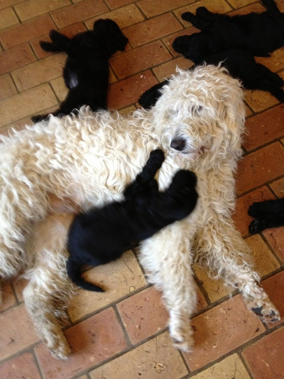 Flatcoated Retriever X Goldendoodle Pups For Sale Puppies For