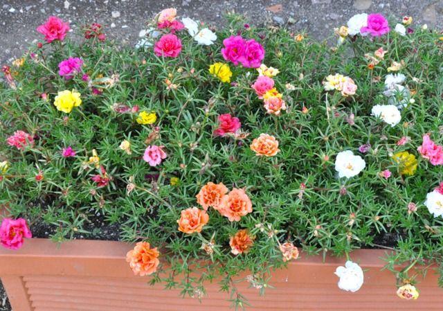 portulaca grandiflora jardini re douneika fleurs pinterest arrosage. Black Bedroom Furniture Sets. Home Design Ideas