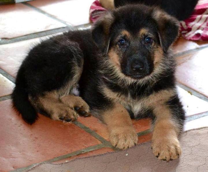 Beautiful shepard pup german shepard puppies german