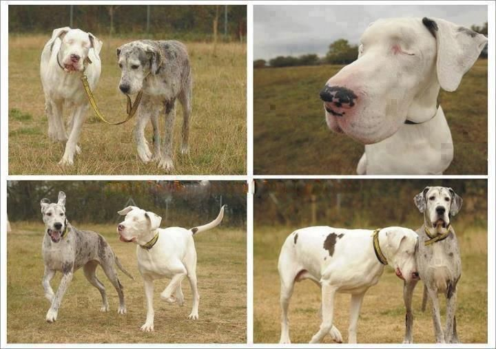 A New Home At Last For The Blind Great Dane And Her Devoted Guide