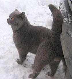 кот британский фото