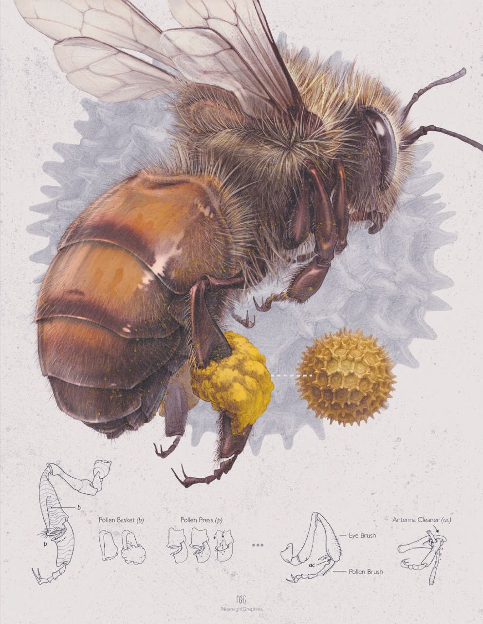 Honey Don T Forget The Pollinators Edible Baja Arizona Magazine Bee Illustration Bee Art Bee Drawing