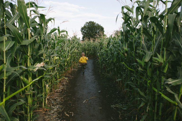 Chilliwack Corn Maze Pumpkin Farm Pumpkin Farm Corn Maze Farm