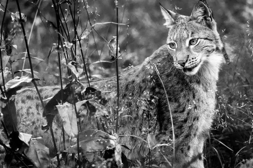 Lynx, Norway