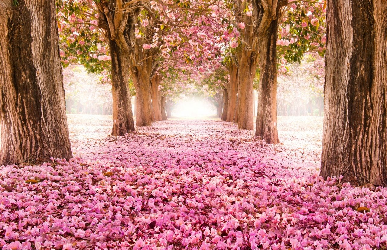Flowering Trees Many Trees Sakura Avenue Nature Flowers Spring Flowers Wallpaper Tree Tunnel Blossom Trees