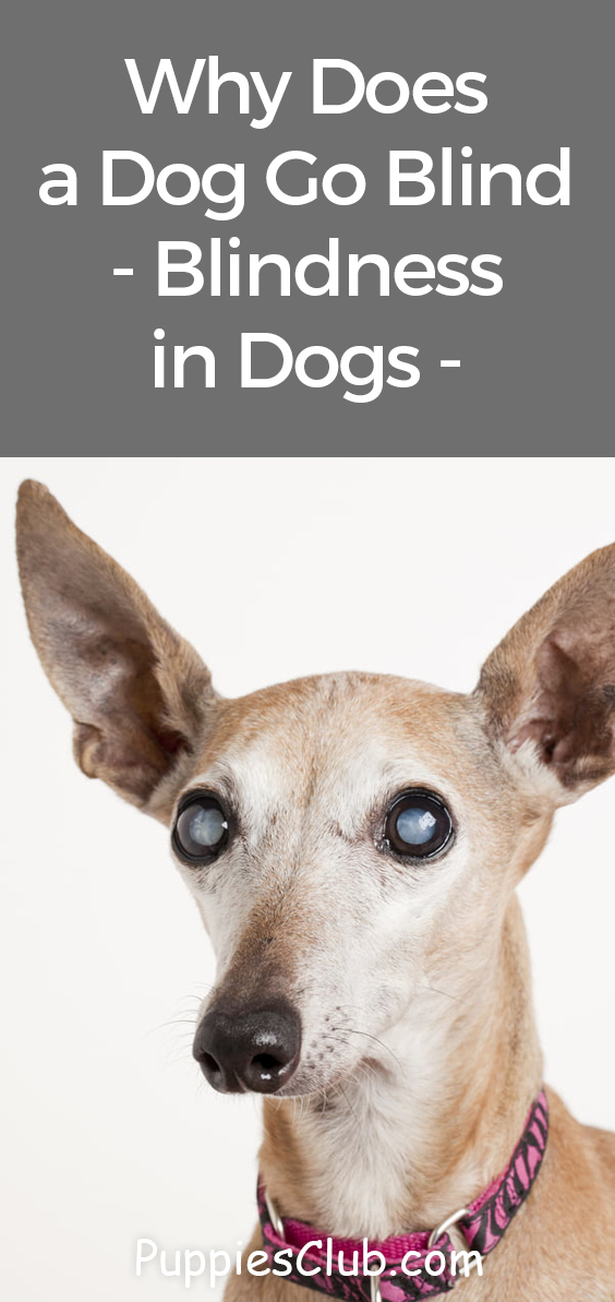 Why Does A Dog Go Blind Blindness In Dogs Symptoms And Signs Dog Facts Dogs Going Blind