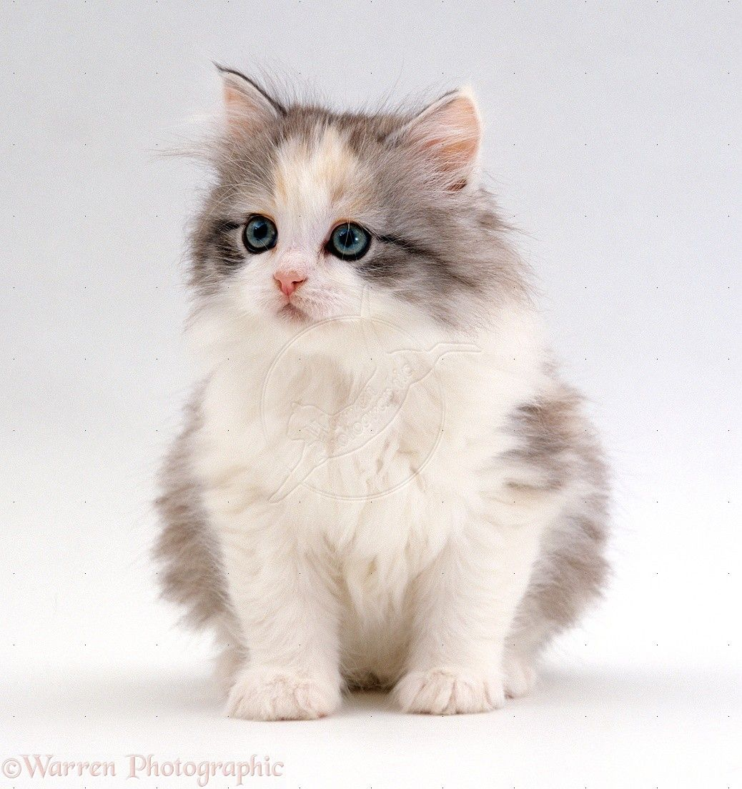 Cute Fluffy Silver Tortoiseshell Kitten Photo Fluffy Kittens